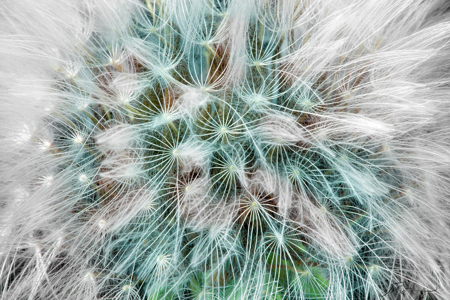 Dandelion Seed Head --Taraxacum officinale