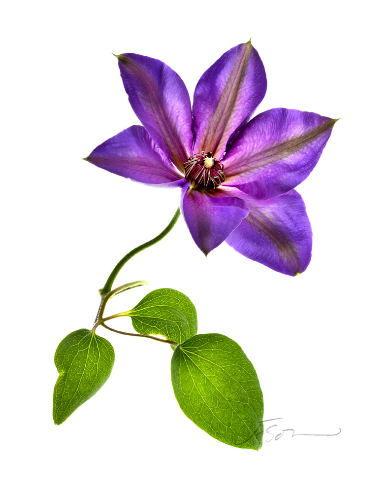 Purple Clematis- Clematis isolated