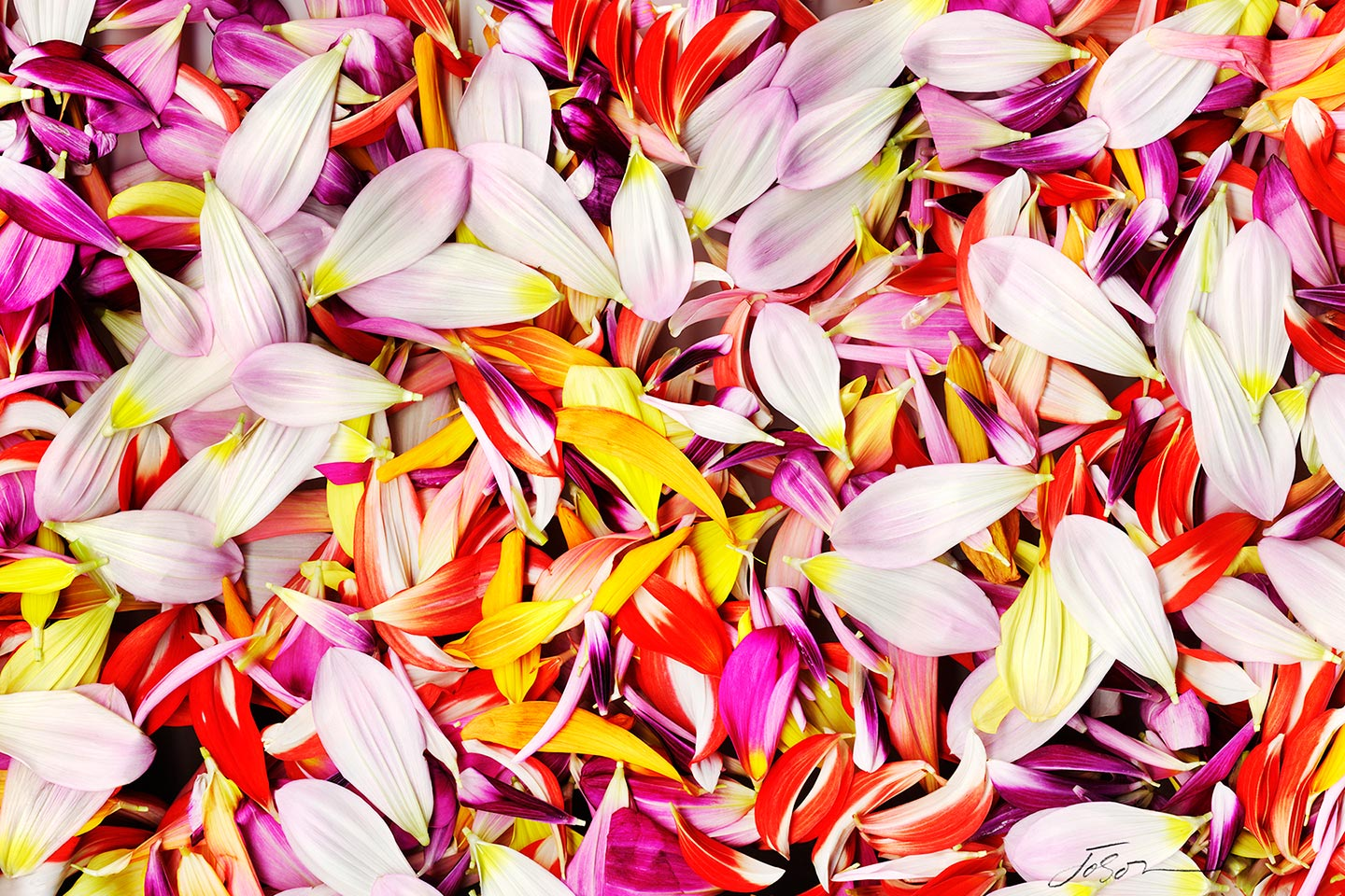 Colorful Dahlia  Petals