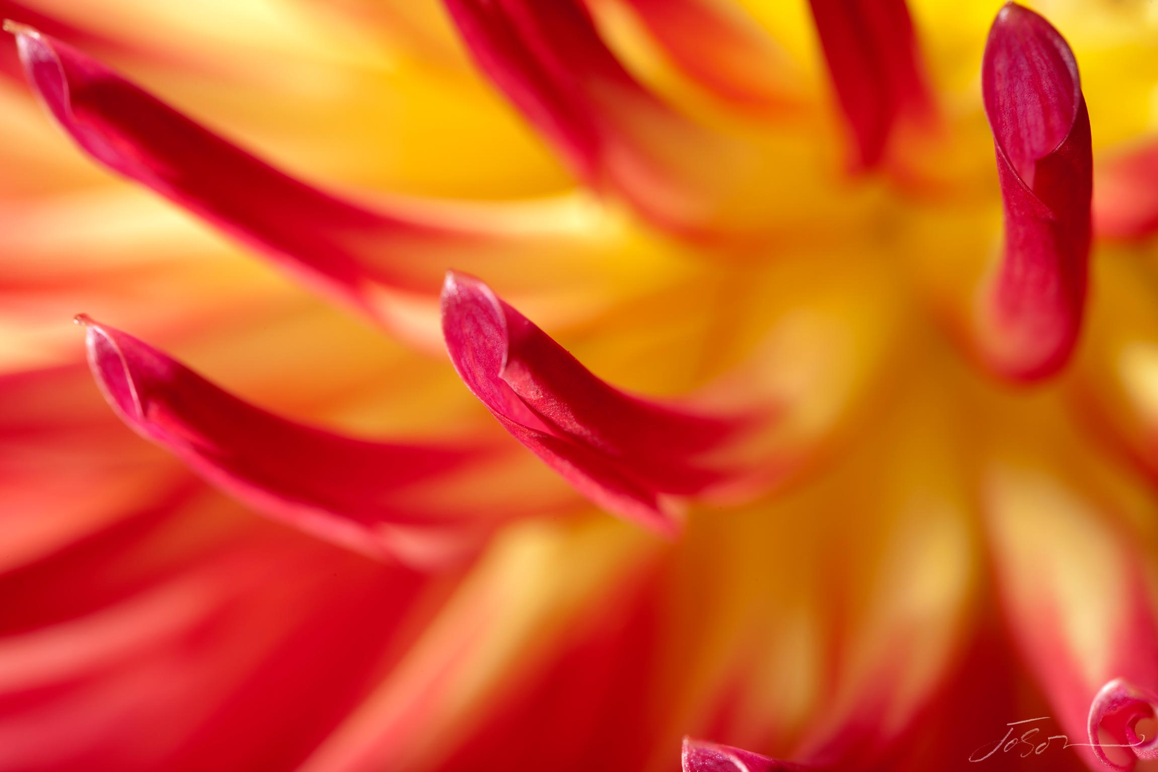 Red and Yellow Dahlia --Abridge Natalie by joSon