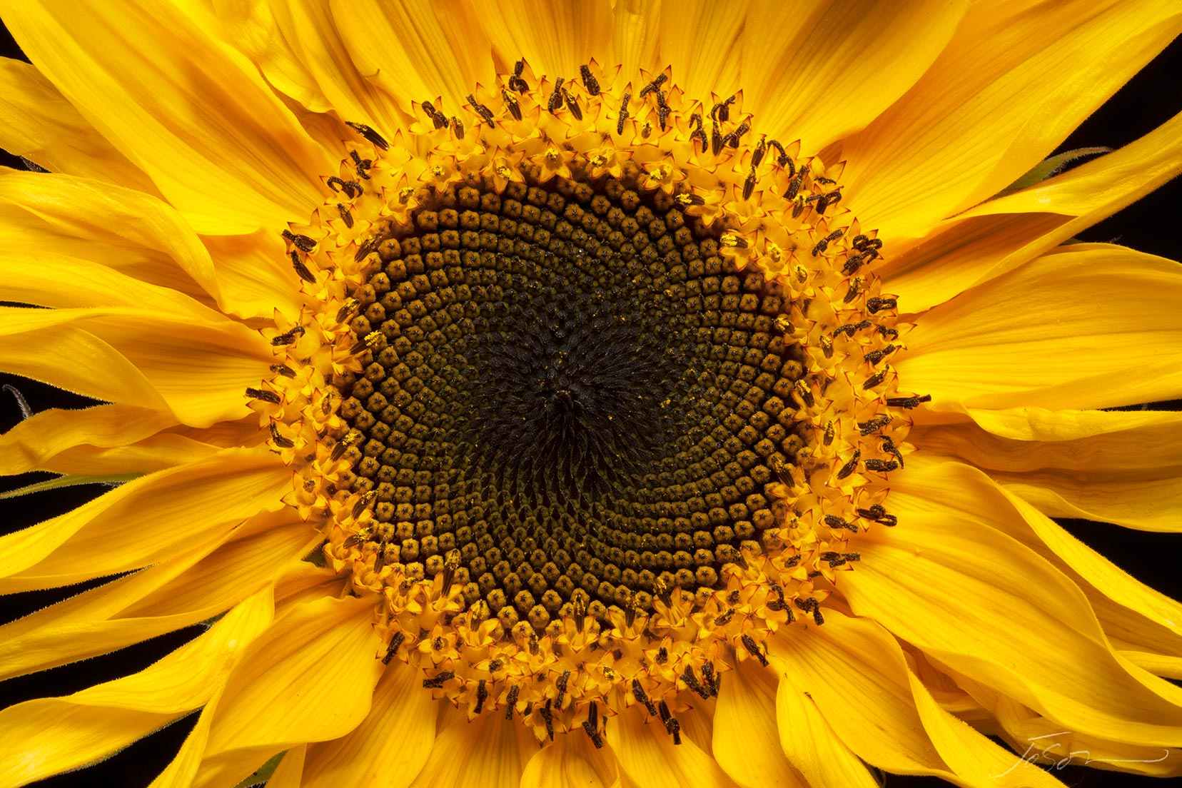 Sunflower --Helianthus annuus