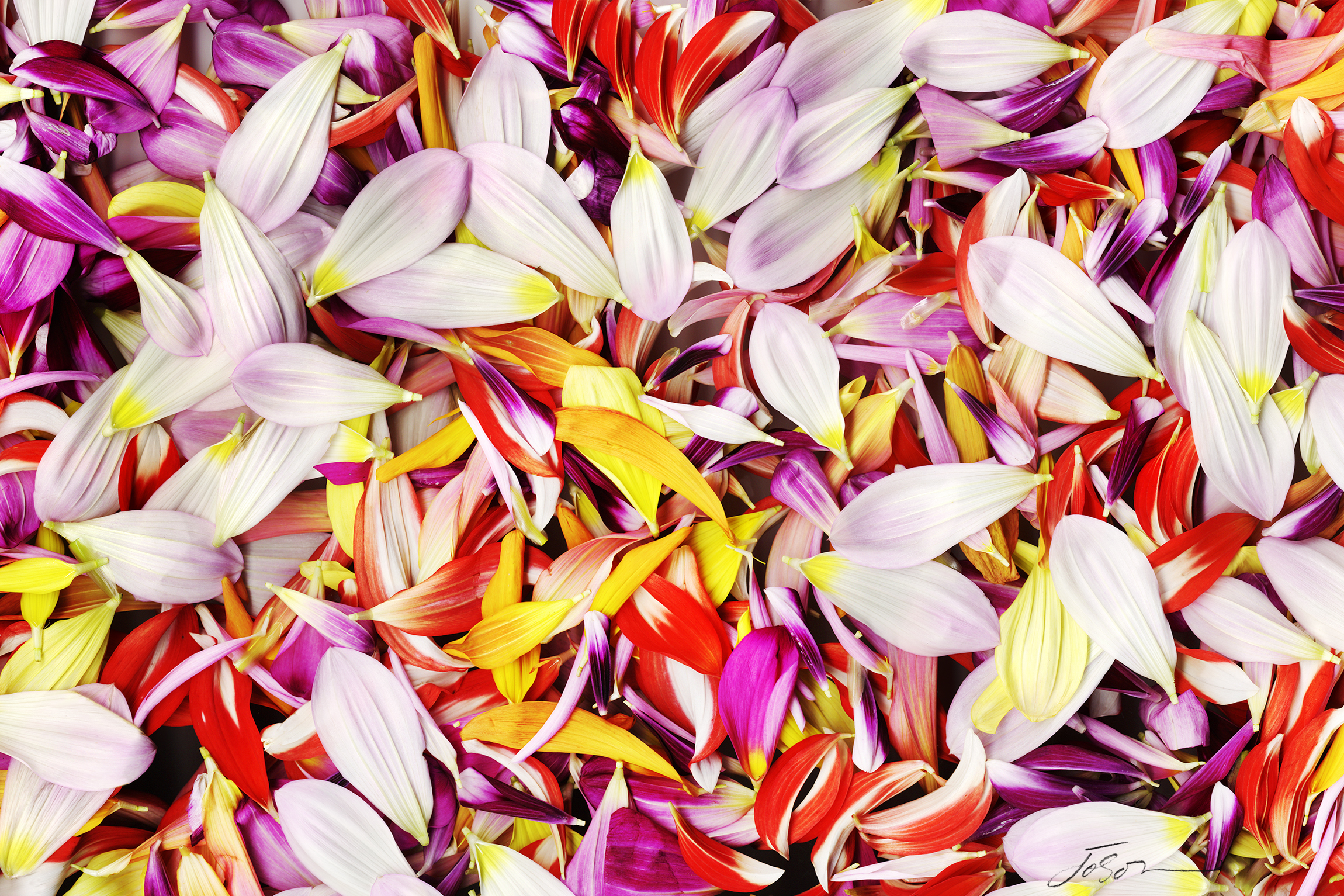 Colorful Dahlia  Petals by joSon
