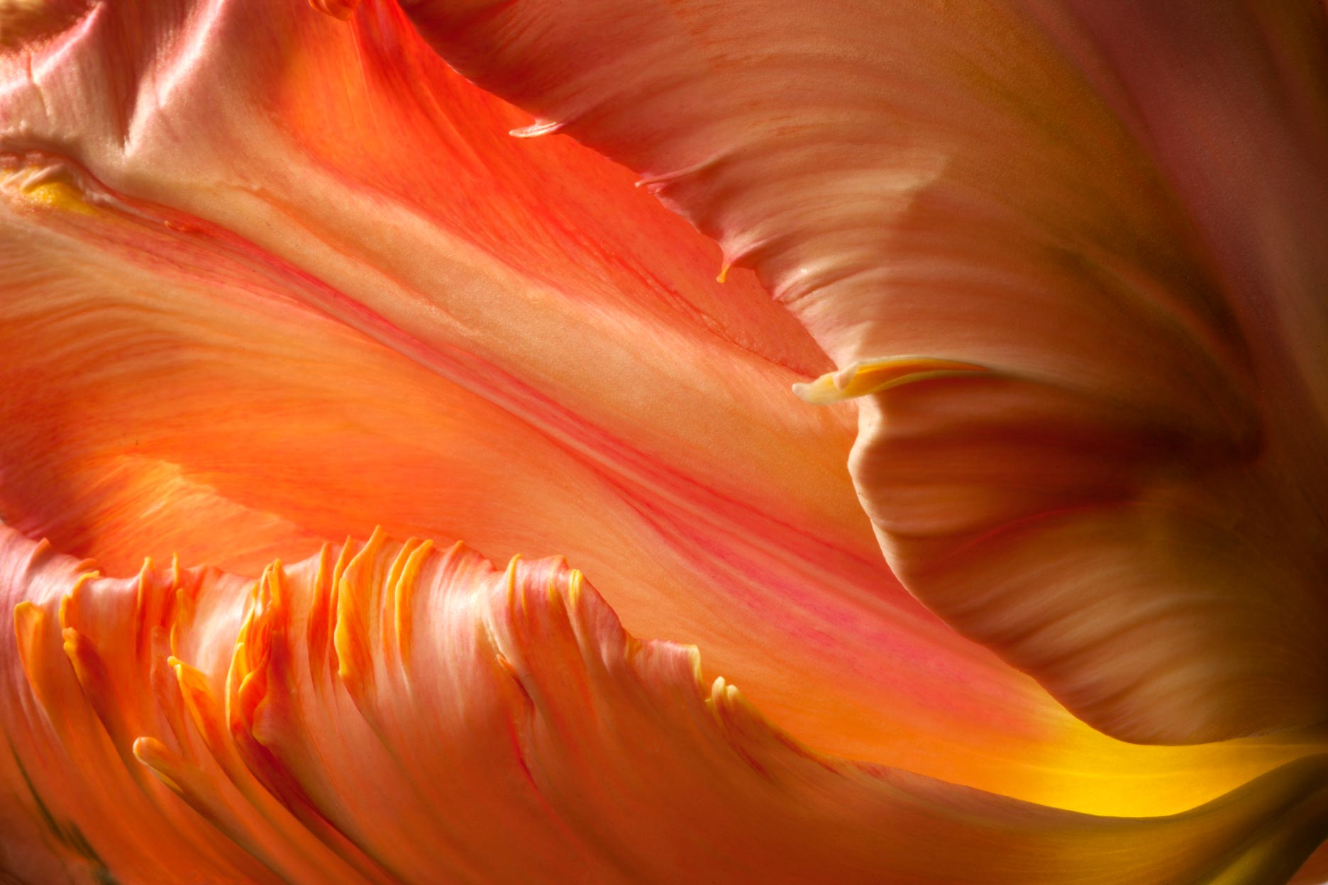 Detail of Tulip