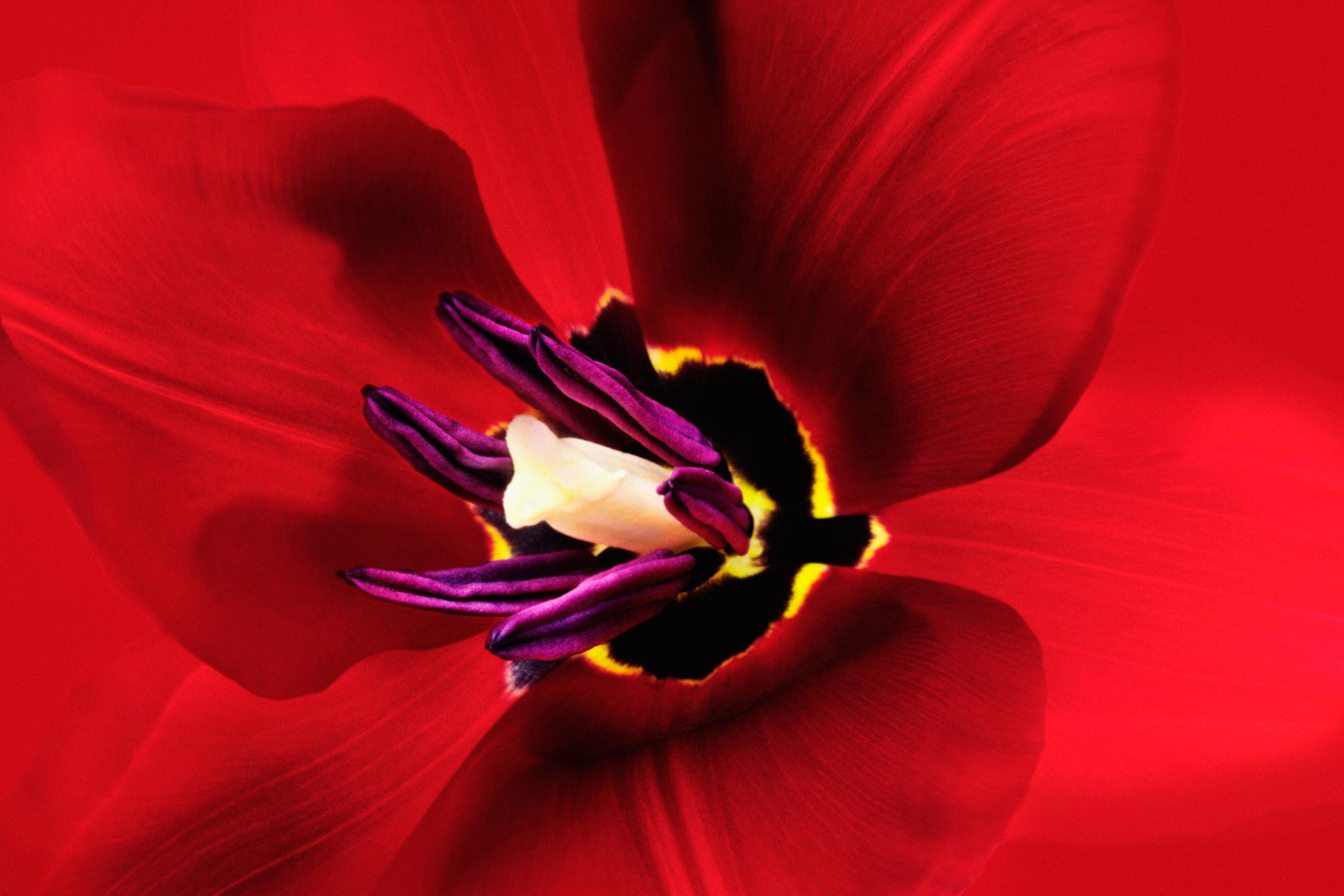 Red Tulip --Tulipa sp.