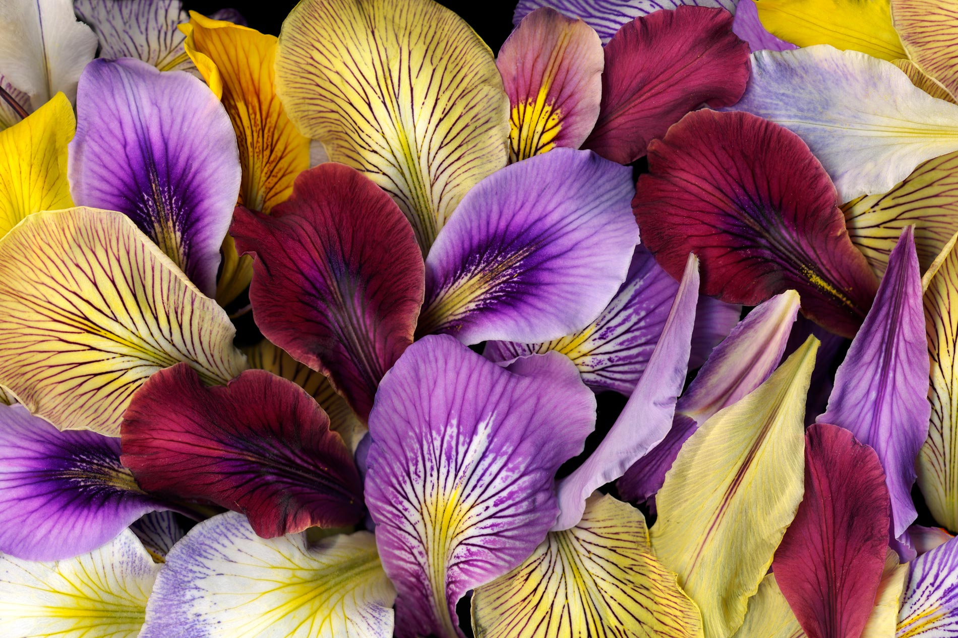 Colorful Iris Petals