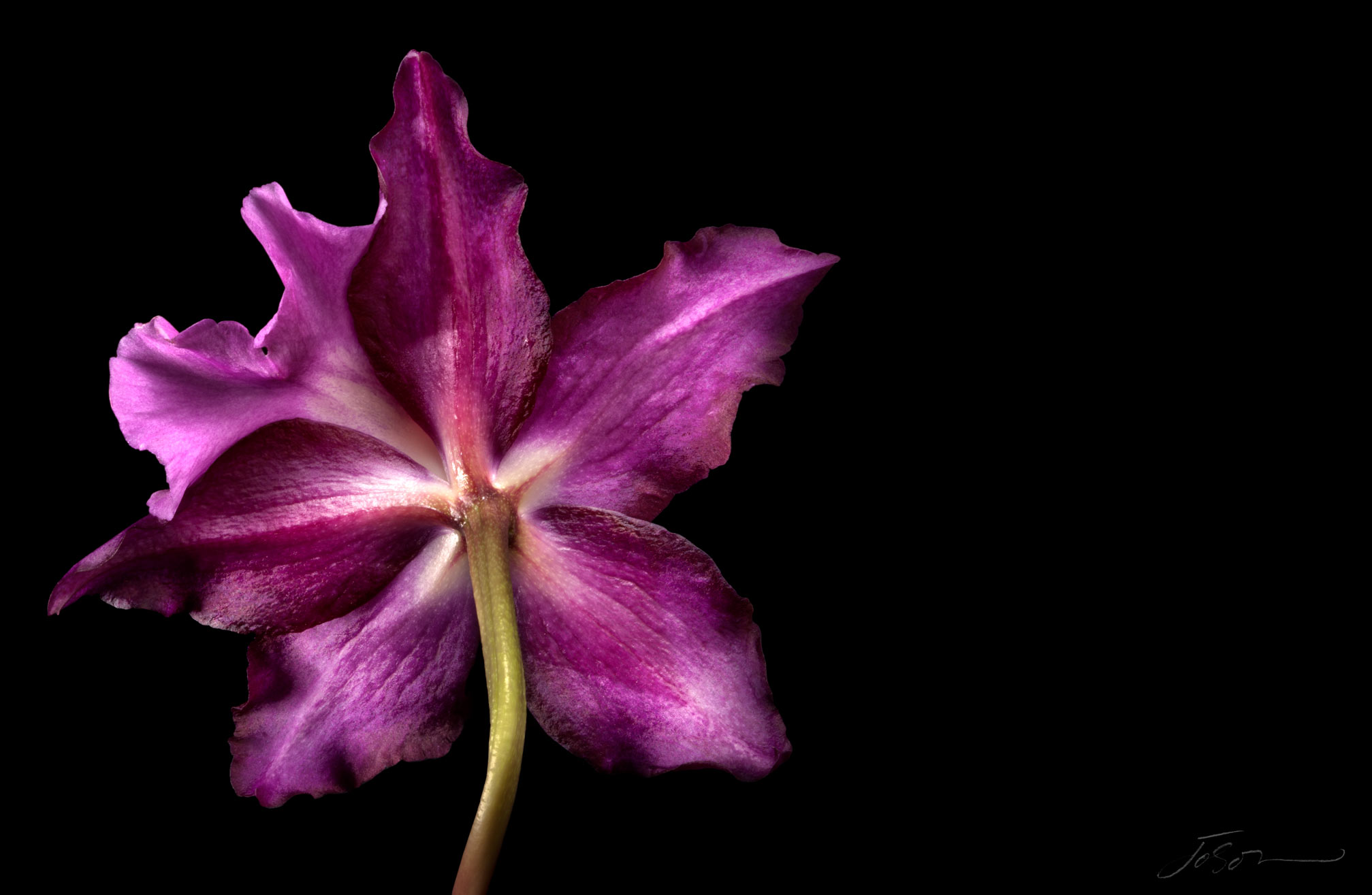 Purple Orchid --Orchidaceous