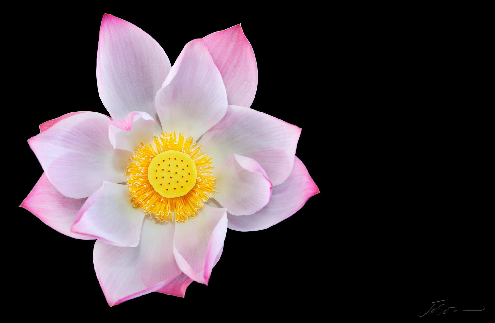 Lotus flower --Nelumbo nucifera