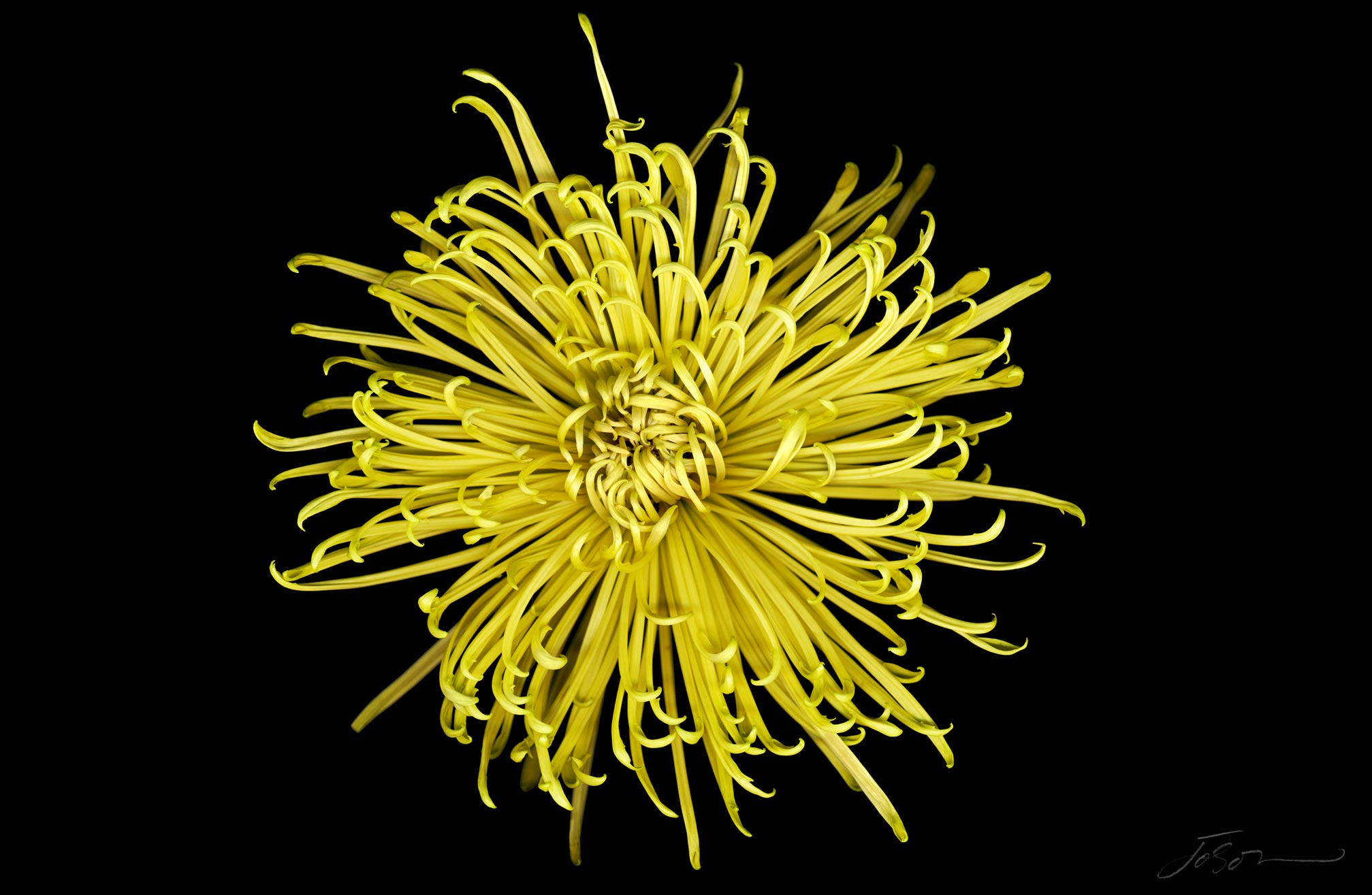Yellow chrysanthemum by joSon