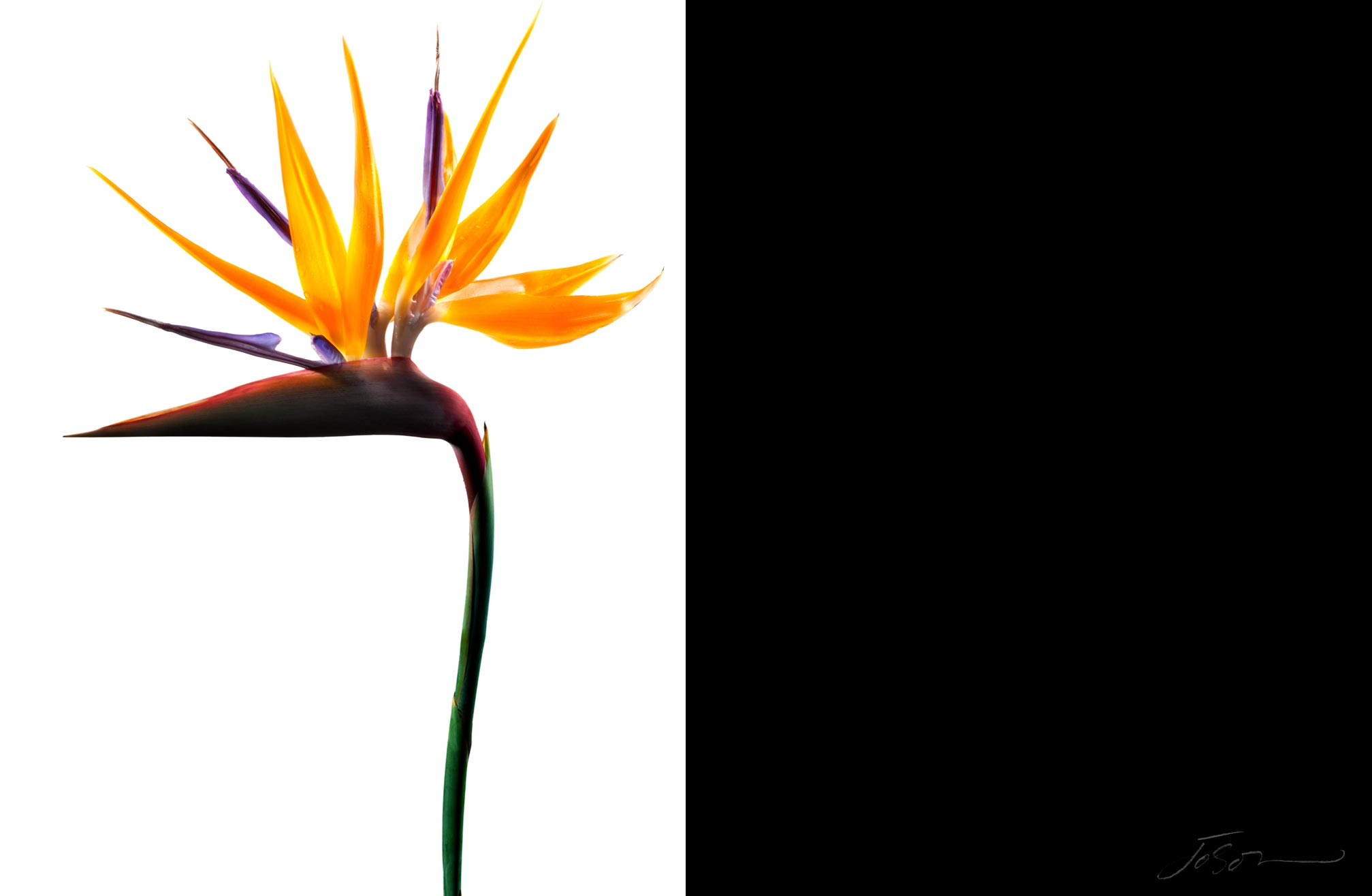 Bird of Paradise --Strelitzia reginae