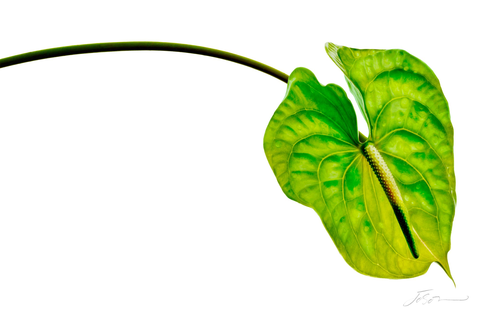 Yellow and green anthurium