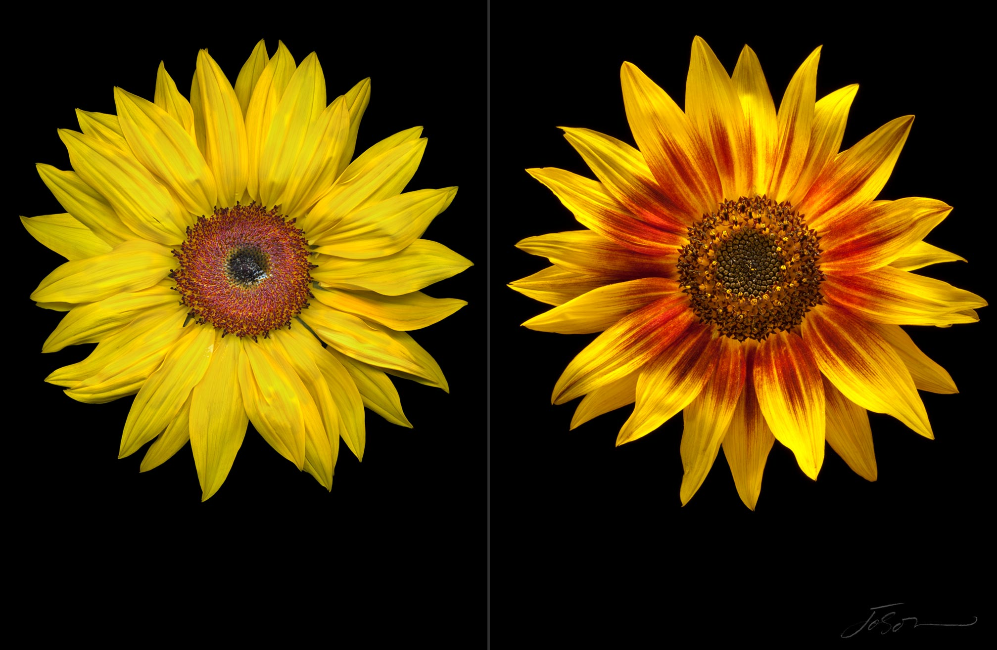 Sunflowers --Helianthus annuus by joSon