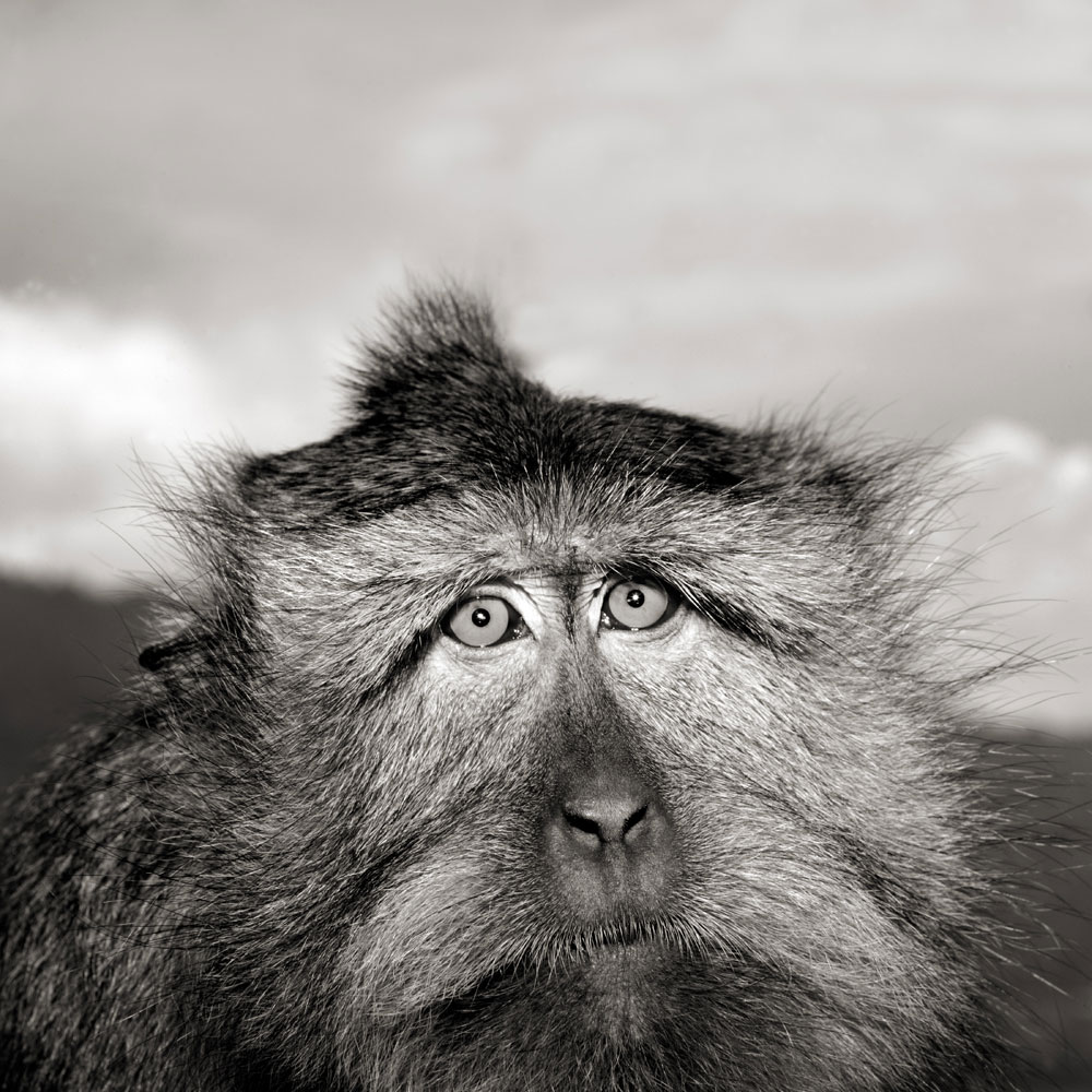 Portrait of long-tailed macaque (Mascaca fascicularis)